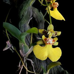Oncidium globuliferum / Онцидиум глобулиферум
